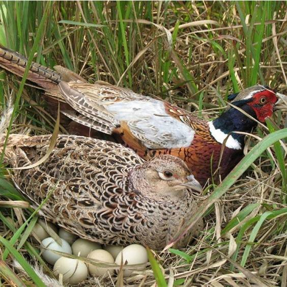 雉鸡种蛋如何选择保养?